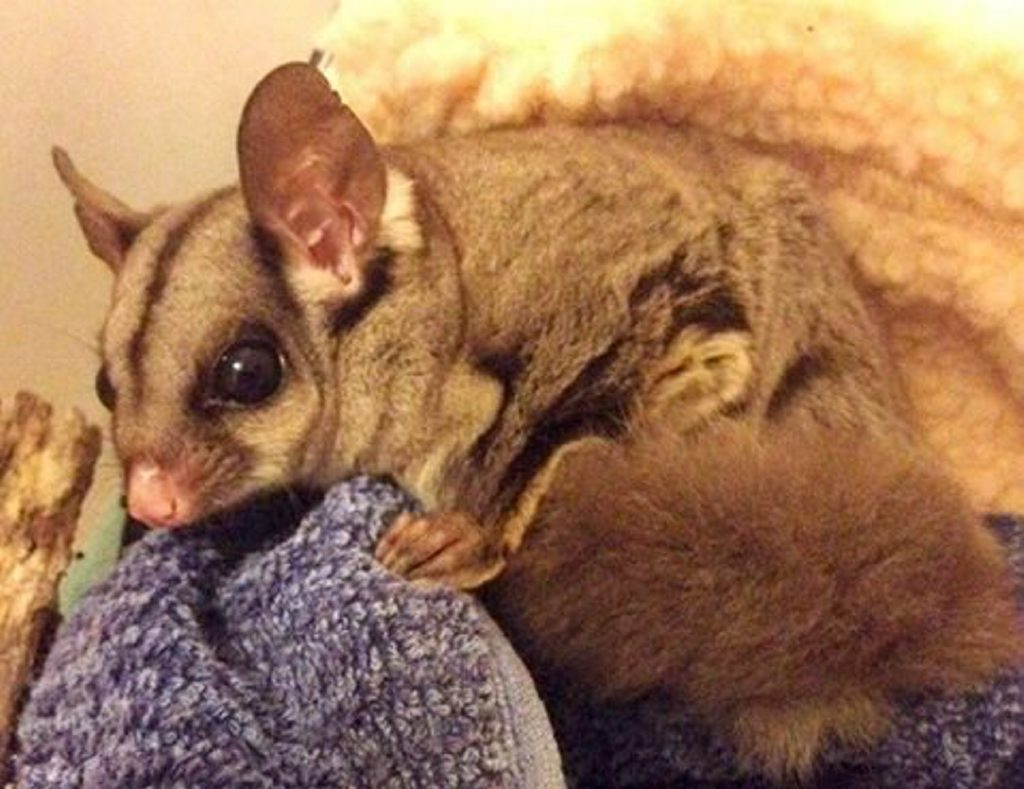 This adult Female Sugar Glider was found inside a fireplace and has been nursed back to health by WIRES Northern Rivers.