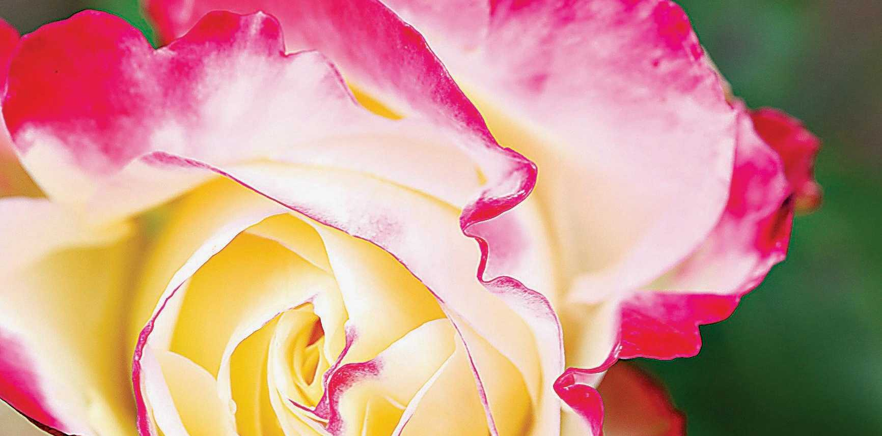 The hybrid tea rose Garden Party produces double, scented white flowers margined with pale pink.