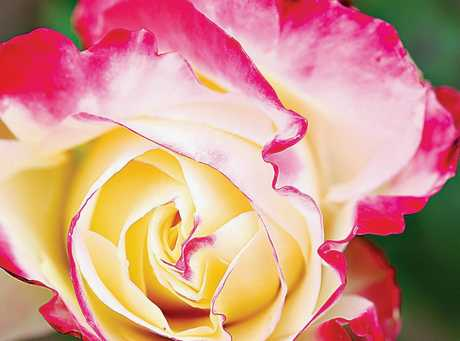 Roses will be sold for Valentine's Day in the state rose garden this weekend.