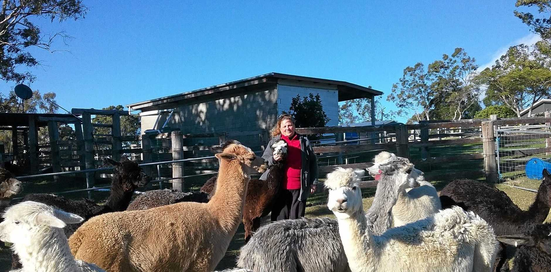 ON THE FARM: Judy Durkin mingles with her alpacas at home on her Moonshine Stud at Ocean View on the Sunshine Coast.