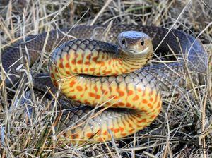New CSIRO snake anti-venom for pet dogs