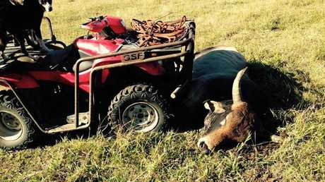 Mr Ware said the Pinnacle Hotel has asked to hang the bull's head on the wall after it was killed when it charged his son's speeding quad bike head-on.