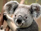 AT RISK: Some scientists warn that native Australian animals, like the koala, may face extinction due to excessive logging in the coming years.