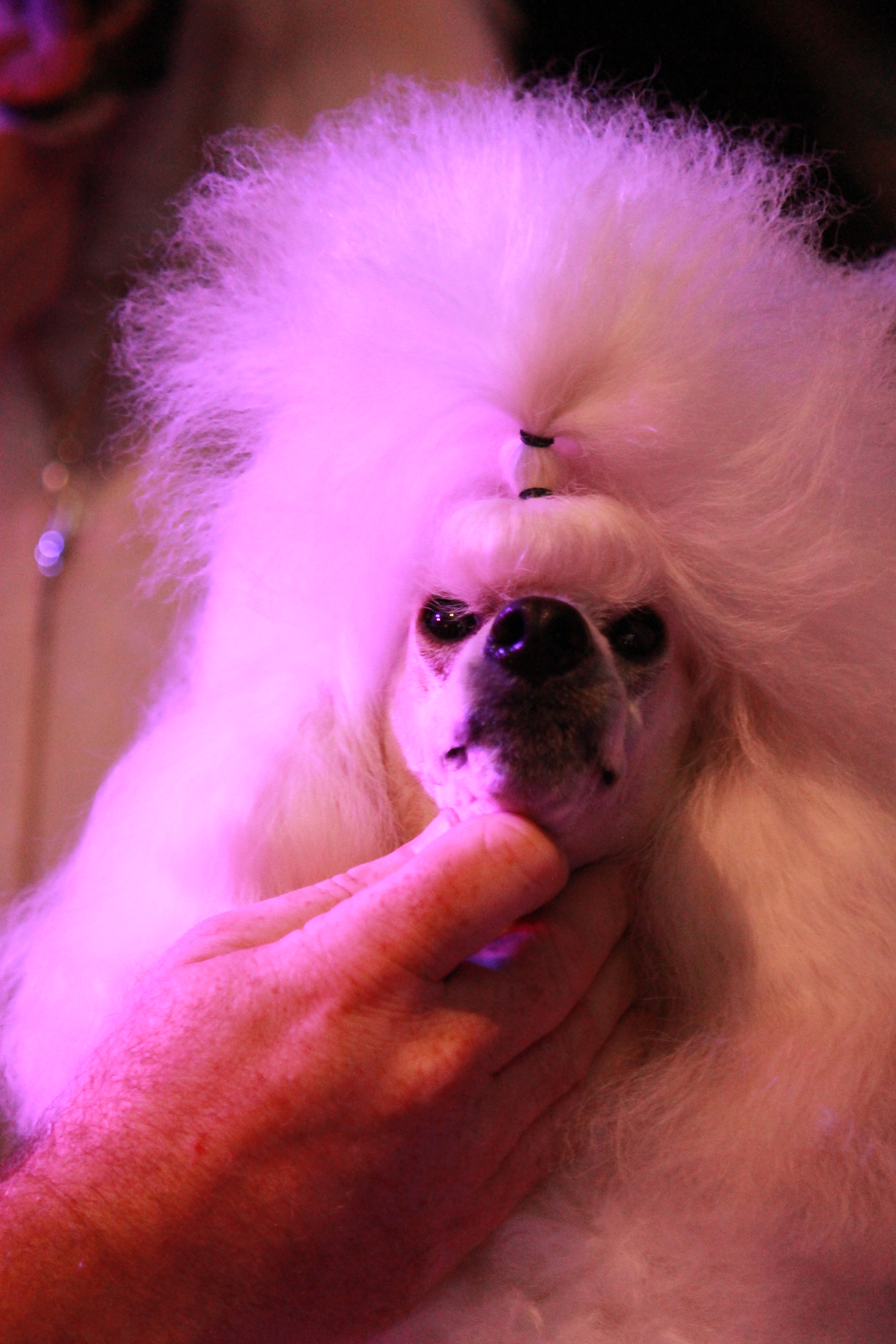 Tango the miniature poodle is groomed at the Ekka media launch in Brisbane on July 12, 2016. The 139th Ekka will run from August 5 to 14. Photo Sherele Moody / APN NewsDesk