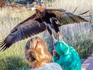 Eagle tries to carry off boy at Alice Springs bird show