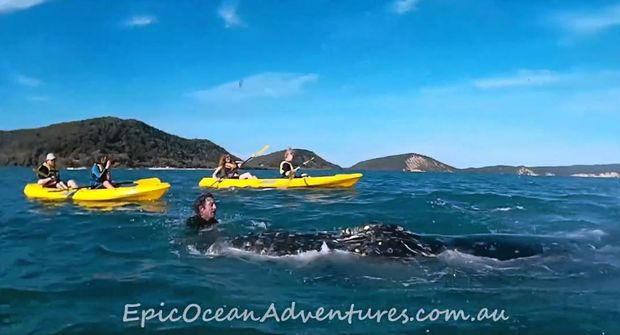 LIFE SAVER: Kakay tour leader Tyron van Santen, of Epic Ocean Adventures, takes to the water off Rainbow Beach to help a whale struggling with rope.