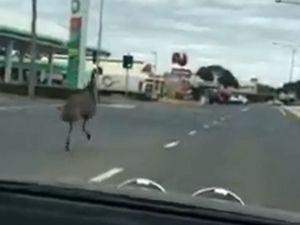 50,000 watch emu caught legging it up in Emerald