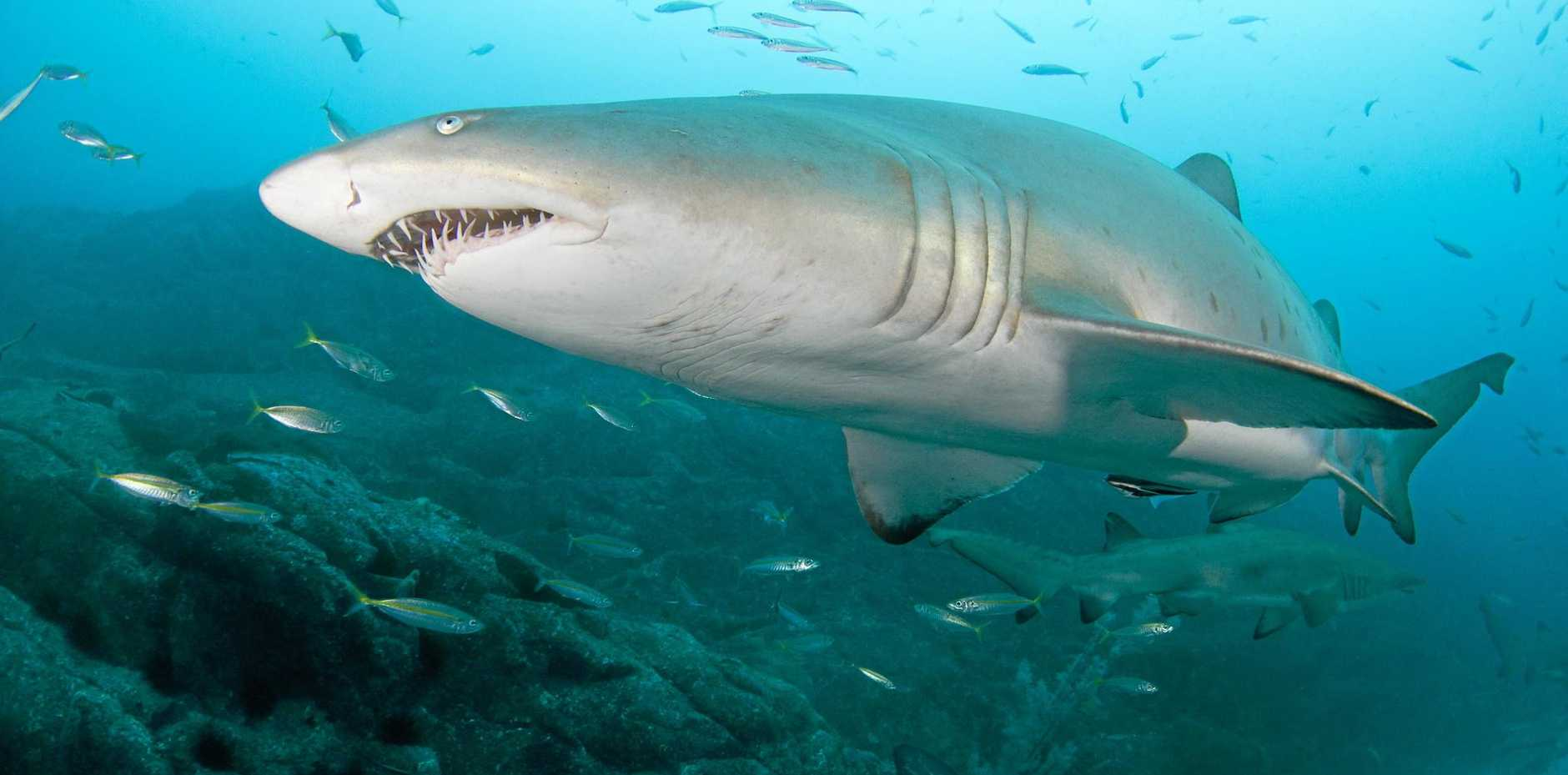 ENDANGERED: A grey nurse shark.