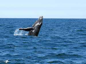 Newborn humpback spotted off the coast