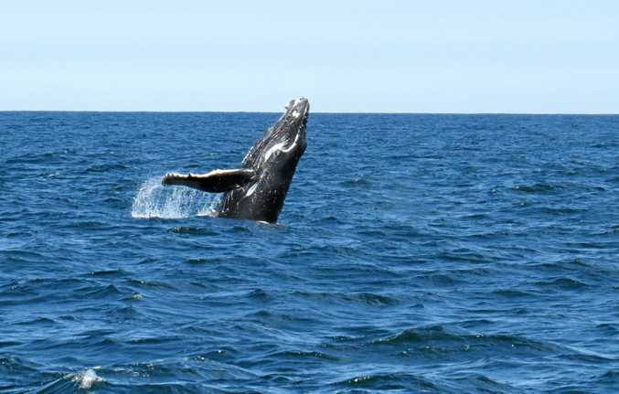 A baby humpback was seen off the Coffs Coast.