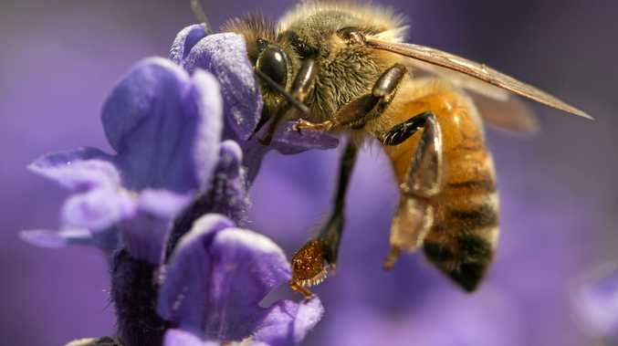 A honey bee at work pollinating a lavender plant.