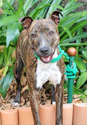 LAYLA: An American staffy cross, Layla is a happy natured 18-month-old. She gets on well with most other dogs but does not like cats. Layla is okay around children, but is scared in storms. She would love a stay-at-home owner.