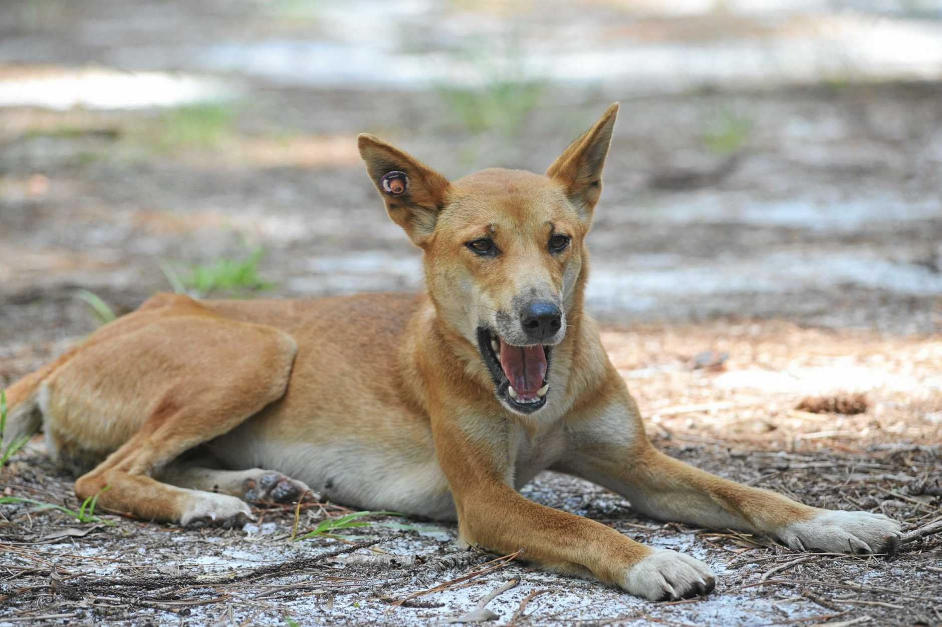 A Fraser Island dingo, tagged at Central Station.