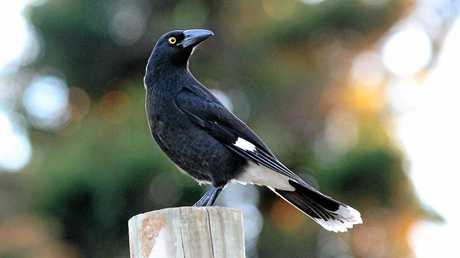 Pied Currawong's are much friendlier than Magpies and won't swoop.