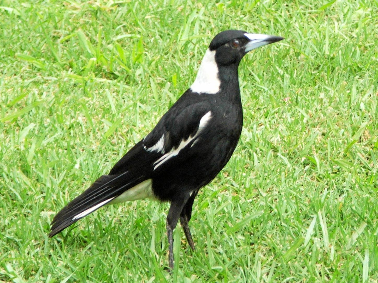 The humble Magpie which will soon start swooping to protect it's young.  Photo Contributed