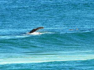 Humpback frolics in Sawtell's surf