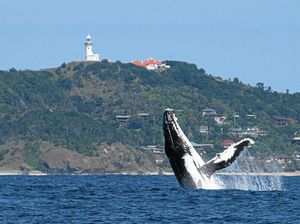 Why Northern Rivers is the best place for whale watching