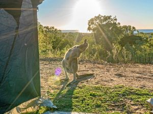 Only in Australia: Bendy kangaroo joins yoga lesson