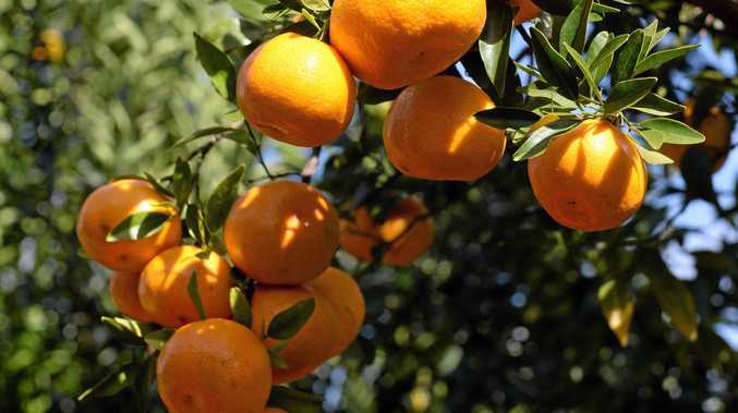 Mandarins are prolific producers.