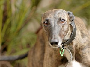 Greyhound industry pushes as MPs consider crossing floor