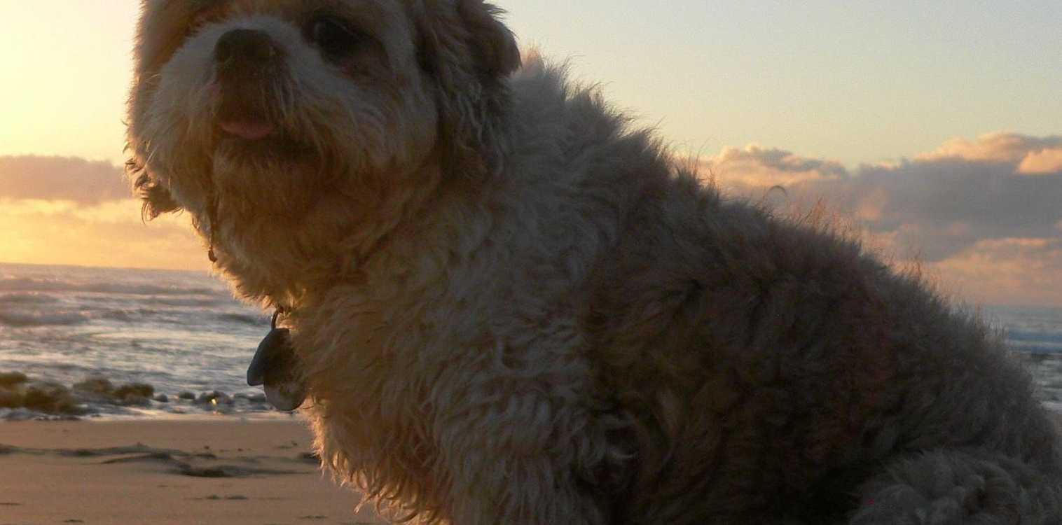 A cute pooch enjoying being off-leash at Coolum.