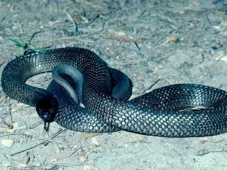 Spotted black snakes have black, dark grey or, occasionally, light brown backs and their bellies are grey, blue-grey or brownish.