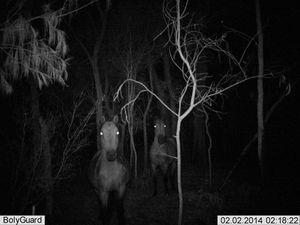 Wild horses on Fraser Island