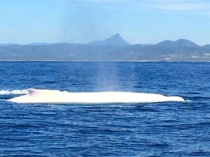 Migaloo the albino whale spotted at Byron Bay