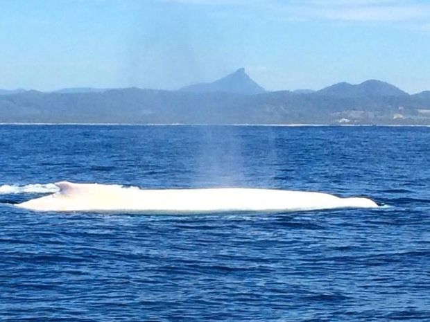 Migaloo spotted off Byron Bay on July 26, 2016.