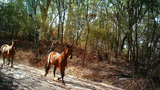 Footage has revealed there are still brumbies on Fraser Island.