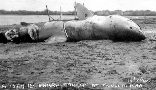 FLASHBACK: Donna Cannon posted this image of a shark believed to have been caught about 20 miles off Mooloolaba back in 1940.