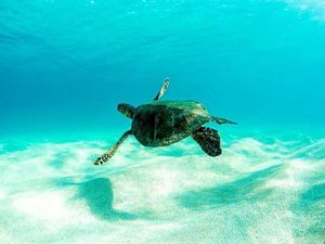 Bello Turtle Festival on soon