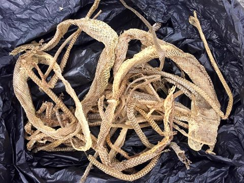 20 snake skins were found in one Sunshine Coast roof.