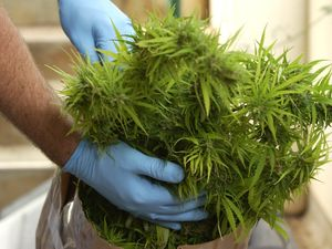 """""""Clumsy"""" dealer finds cannabis in forest, tries to sell it"""