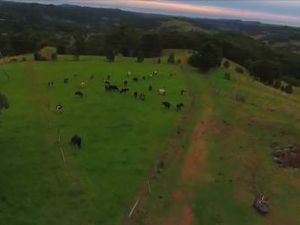 Cows from the sky: Drone footage of a dairy