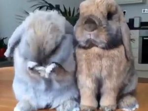 Alfie and Biscuit, bunnies dominating the internet