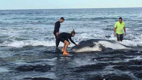 TRAGEDY AVERTED: Beachgoers help to rescue a baby whale beached at Kingscliff. Photo by Emma O'Sullivan/Facebook.