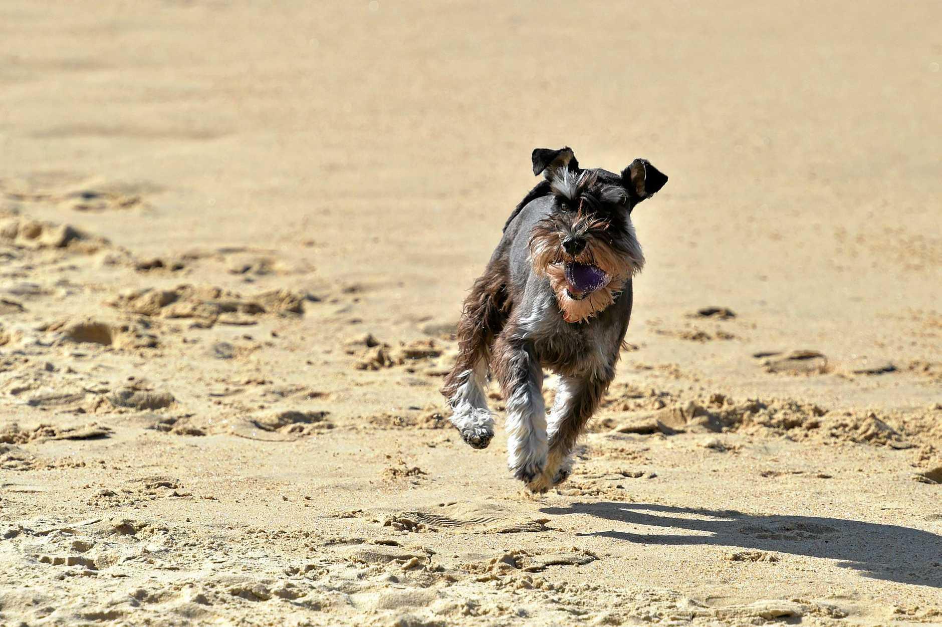 Schnauzer gathering at Currimundi.Dogs play on the beach.