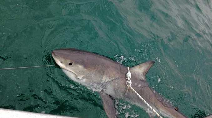 2.35m female white shark tagged off Evans Head.