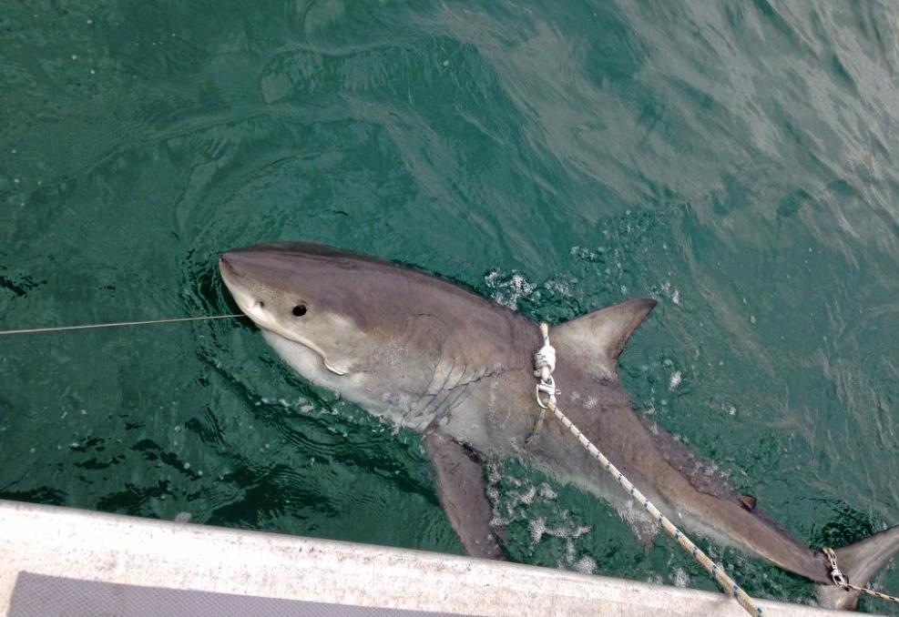 2.35m female white shark tagged off Evans Head.