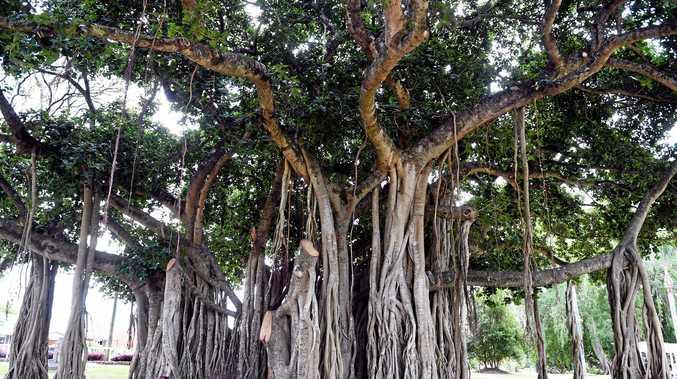 Maryborough's banyan tree.