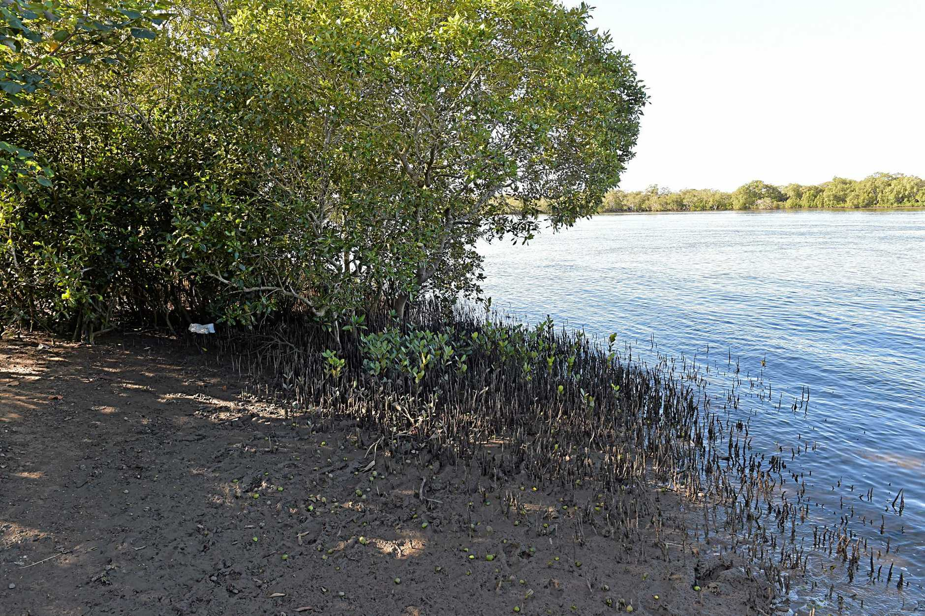 BAD ODOUR: The mangrove area at Bli Bli could be the source of a mystery smell which comes and goes at Bli Bli.