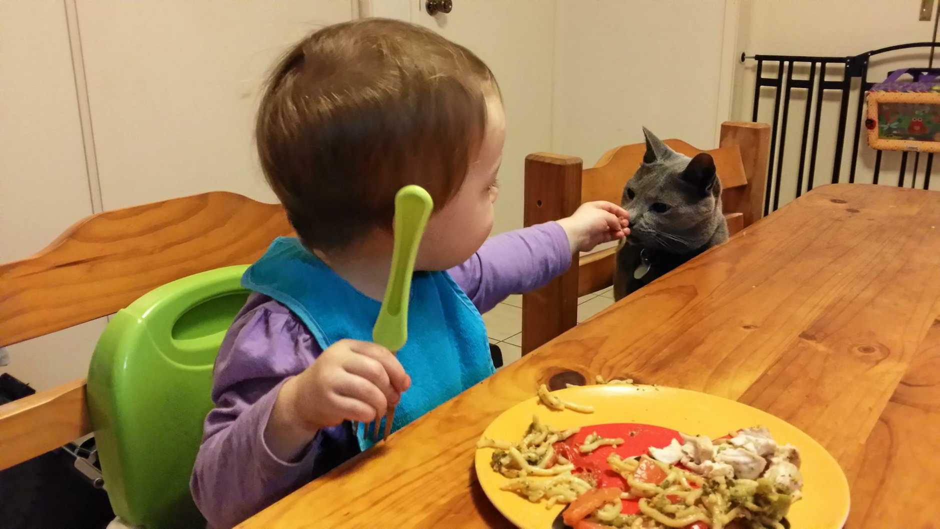 Sam and Theo the Russian Blue share some stir-fried noodles for dinner.