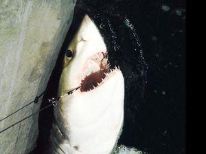 'Aggressive' great white shark knocks man off board