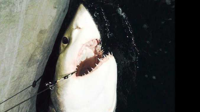 A 2.28m Great White is tagged by the Department of Primary Industries at Coffs Harbour on Tuesday.