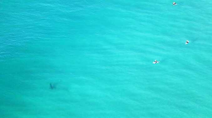 Sharks at North Wall in Ballina while surfers refuse to leave the water. Photo Contributed