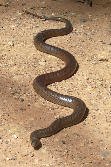 The eastern brown snake is found in areas from as far away as the Kimberley, across the Territory and right along the east coast of Australia.