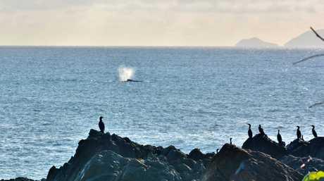 Whale watching at Lamberts Beach.Photo Kellie Austin