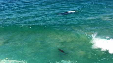 A whale gives birth to a calf at Norries Headland, Cabarita.