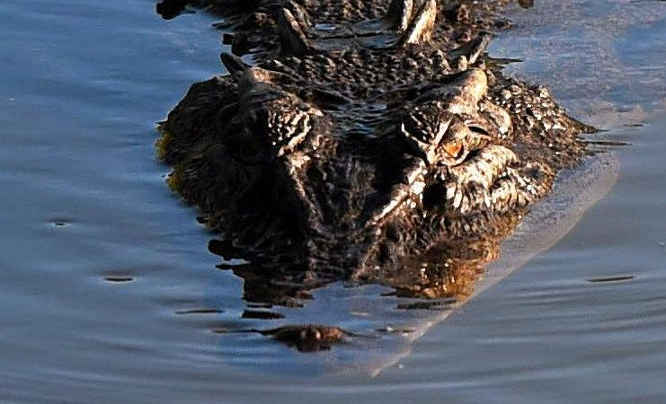 A crocodile (not this one) has been spotted in the Burnett River.